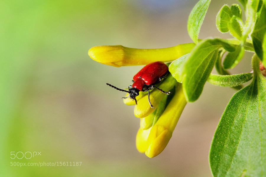 Photograph Lilioceris lilii by Denis Belyaev on 500px