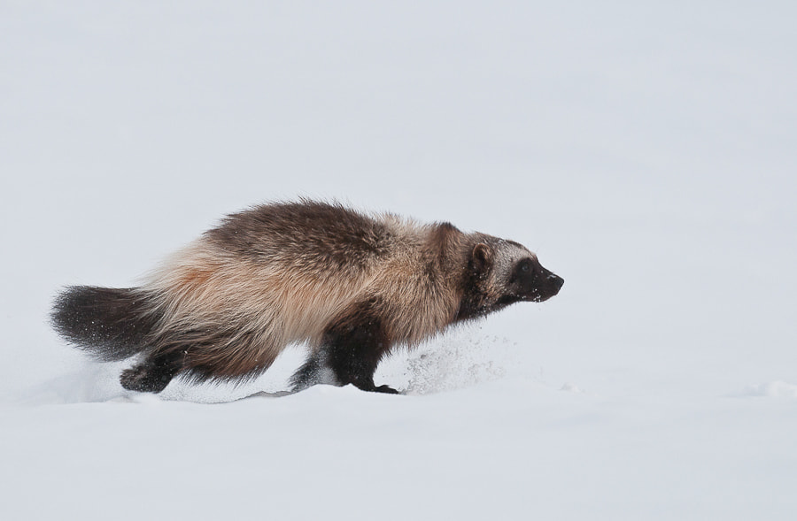 Photograph wolverine by Ivan Kislov on 500px