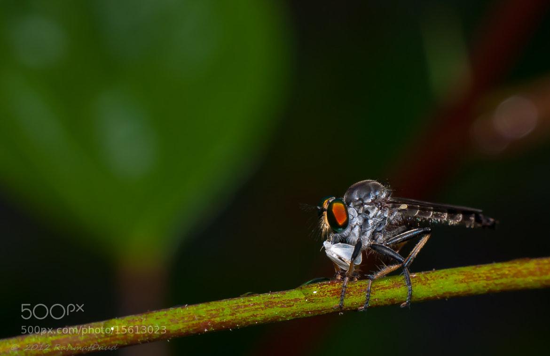 Photograph Robber Fly  by Rahmat  Daud on 500px