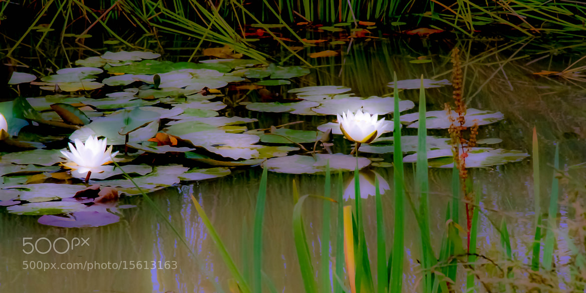 Photograph Light Lillies by julian john on 500px