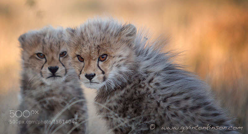 Photograph Cheetah Cubs by Gavin  Tonkinson on 500px