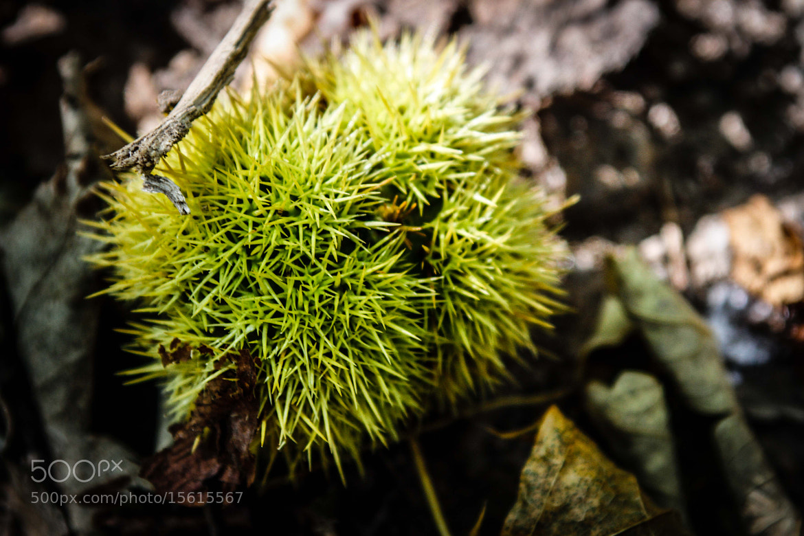 Photograph European Chestnut by Johannes Keller on 500px