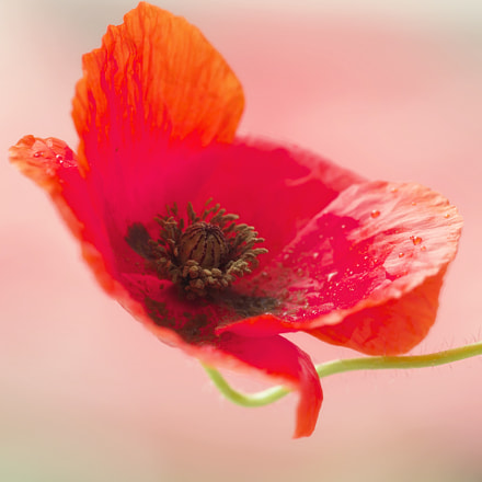 poppy light, Canon EOS 5D MARK III, Canon EF 180mm Macro f/3.5L