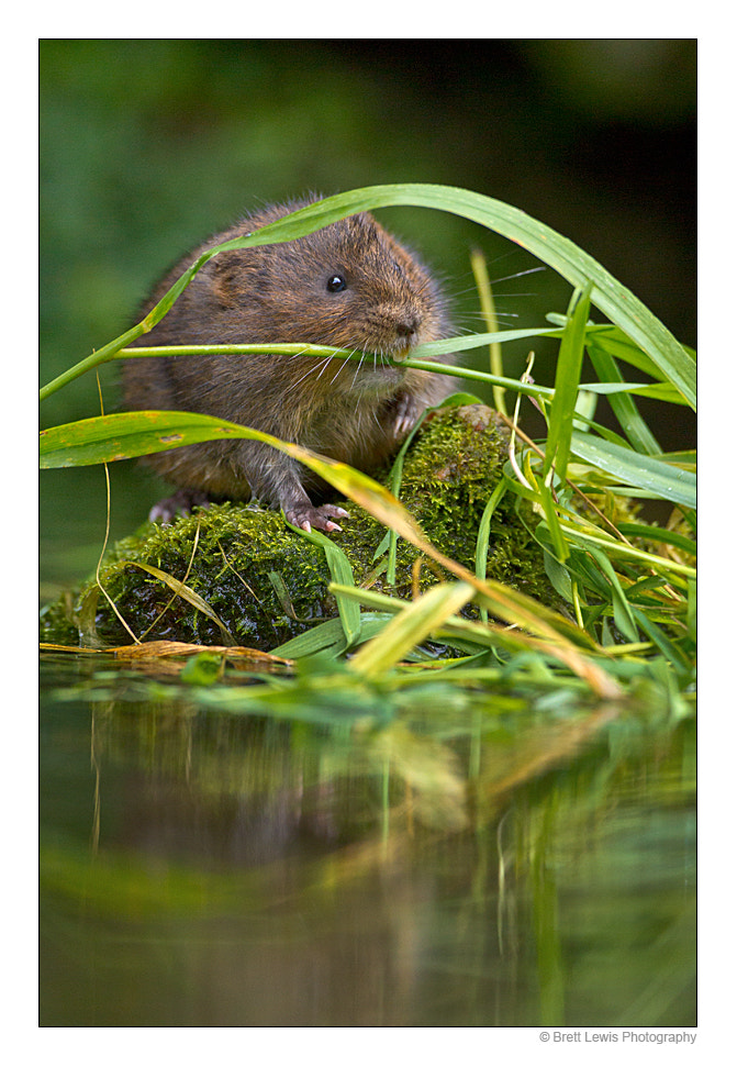 Photograph Water vole by Brett Lewis on 500px