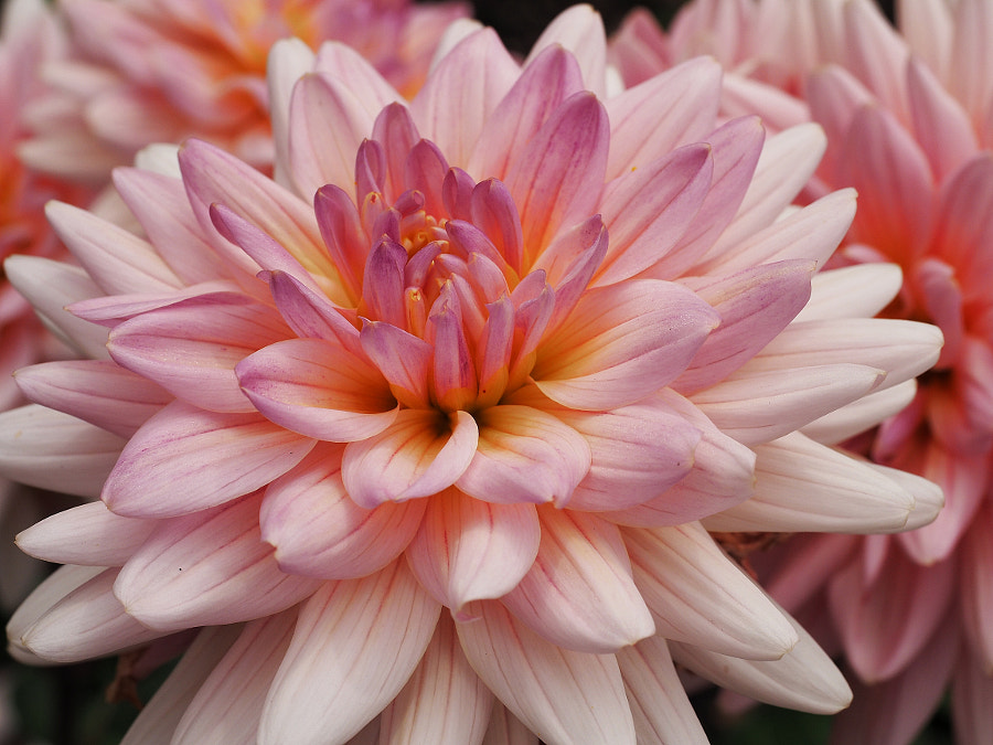 Showy (as befits a Dahlia) by Nancy Lundebjerg on 500px.com