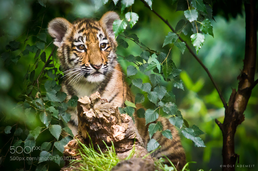 23 tiger cub in tree