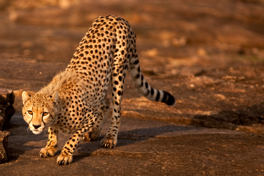 Photograph Cheetah 02 by catman / www.suhaderbent.com on 500px