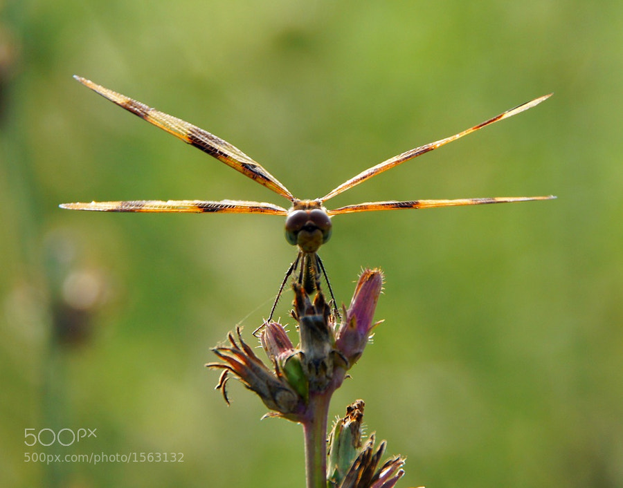 Halloween Pennant dragonfly letting the sun light its wings