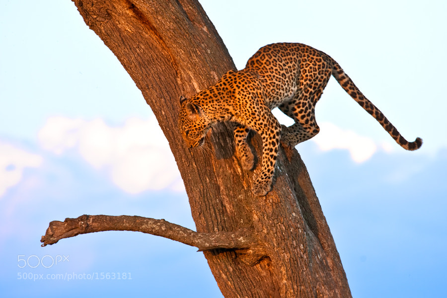 Photograph Leopard 09 by catman / www.suhaderbent.com on 500px