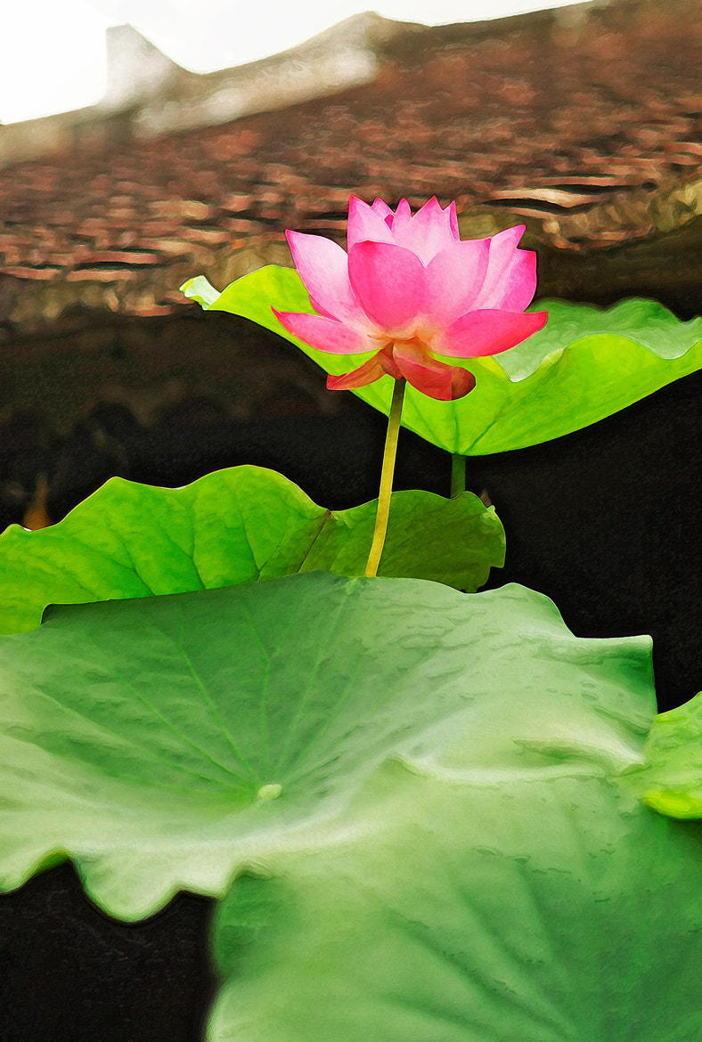 Photograph Lotus Flower by Duy Thong on 500px