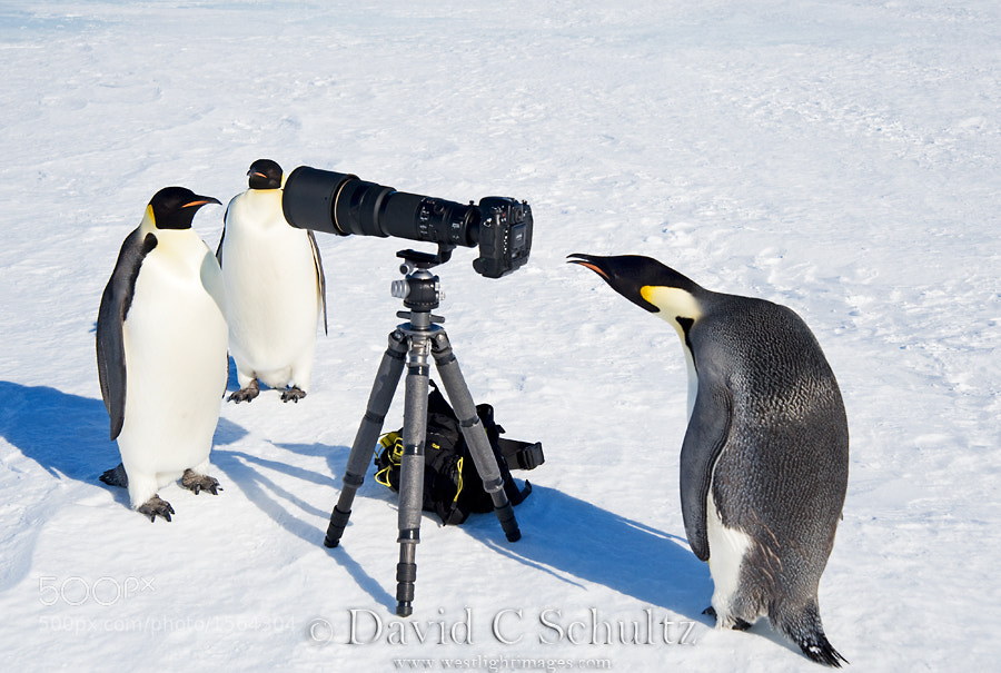 "Photograph ""Penguin Paparazzi"" by David C. Schultz on 500px"