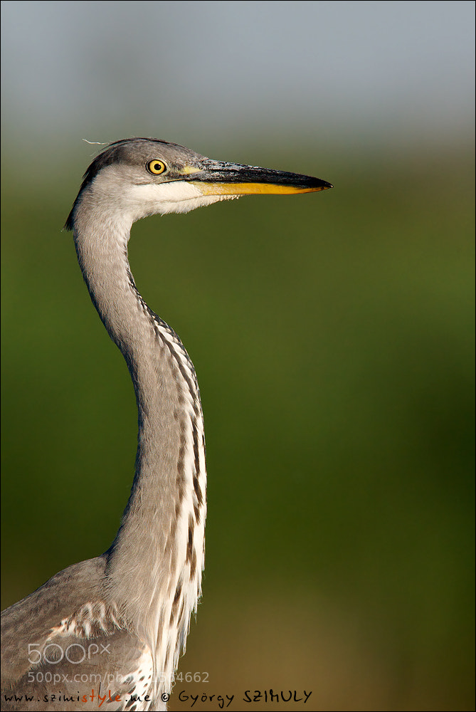 Photograph Grey Heron (Ardea cinerea) by Gyorgy Szimuly on 500px