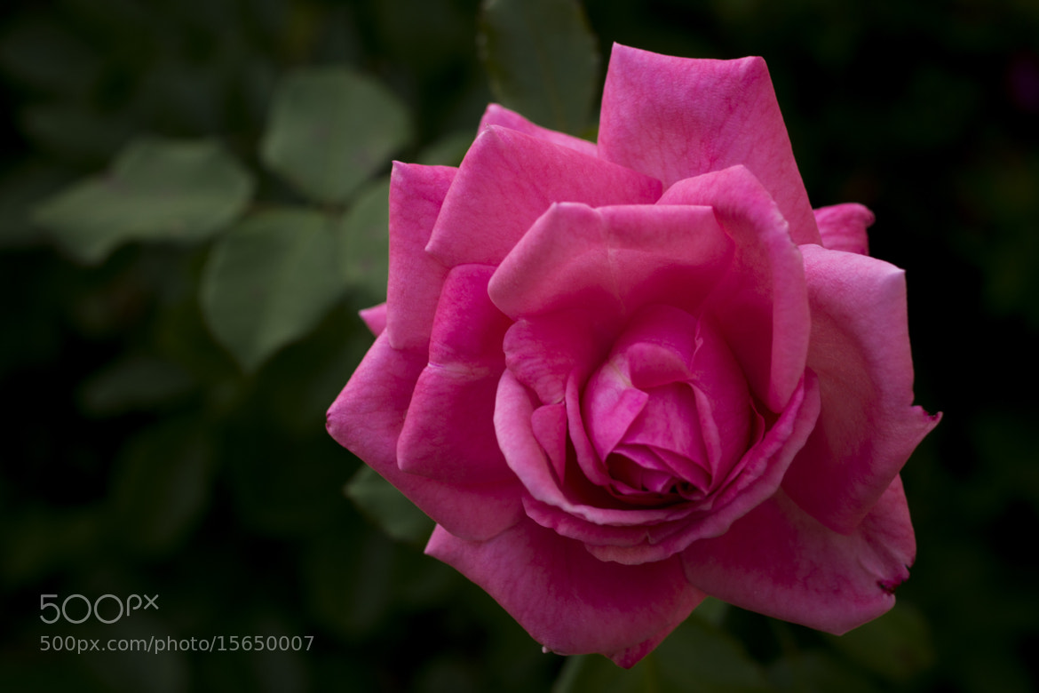 Photograph Rose by Aaron Victor on 500px