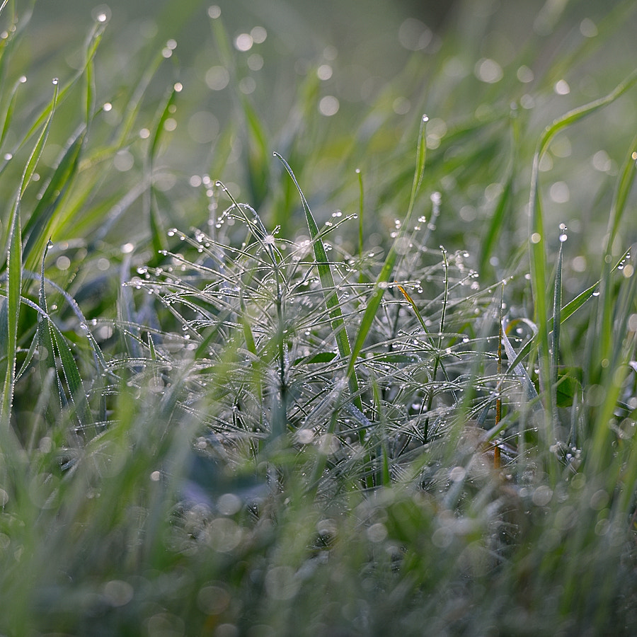 Photograph Dew -This Morning by Kent Shiraishi on 500px