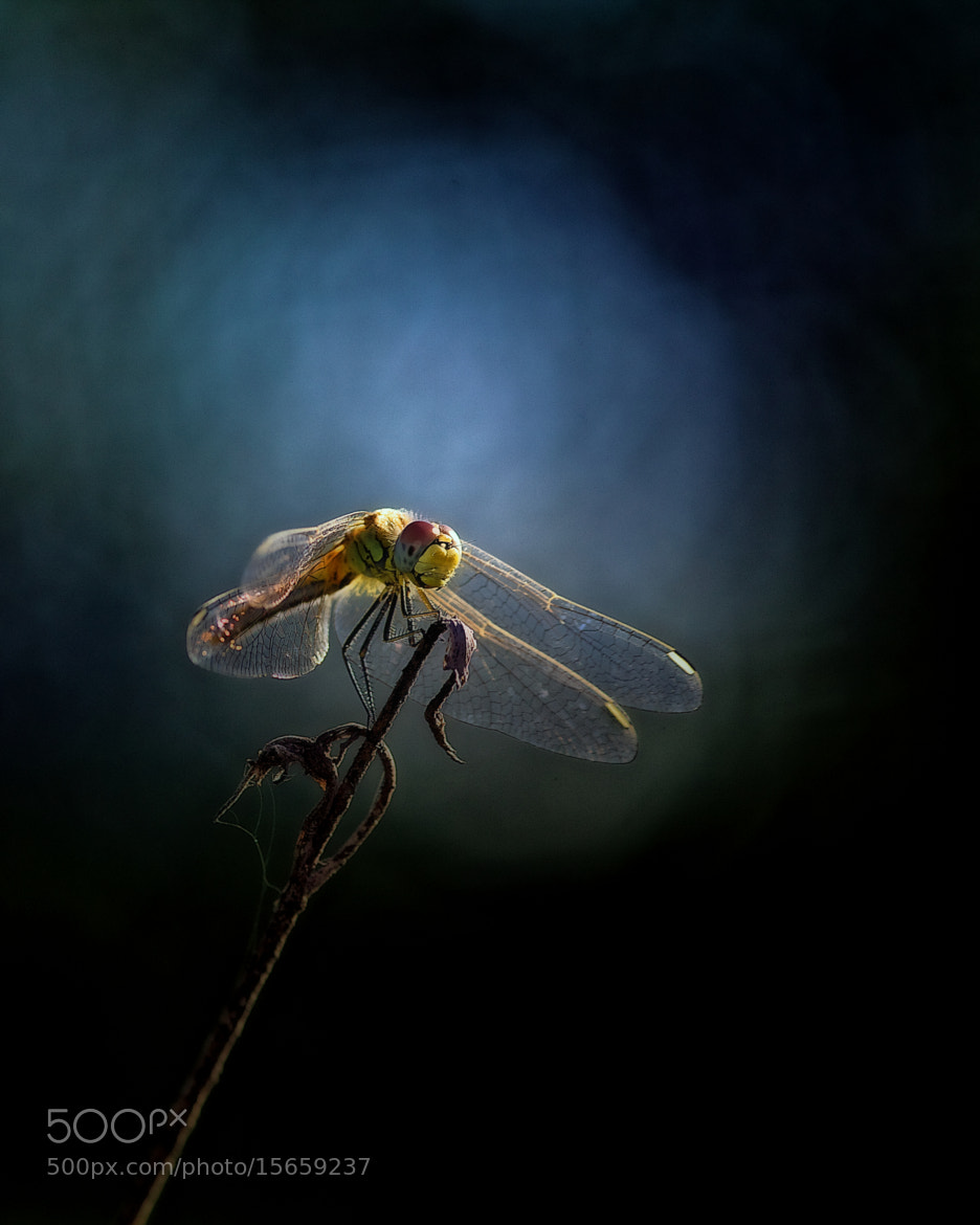 Photograph Dragonfly IV by Ricardo  Alves on 500px