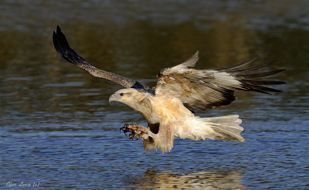 Photograph White-bellied Sea-Eagle by Ofer Levy on 500px