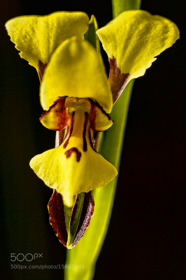 Photograph Bristly Donkey Orchid by Paul Amyes on 500px