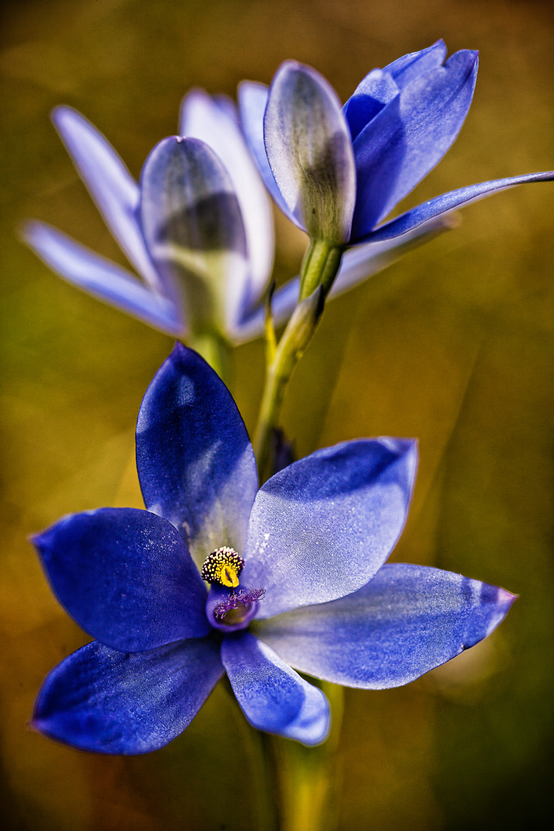 Photograph Blue Lady Orchid by Paul Amyes on 500px