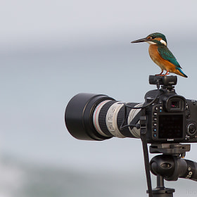 Kingfisher on Camera by Jacki Soikis (jackisoikis)) on 500px.com