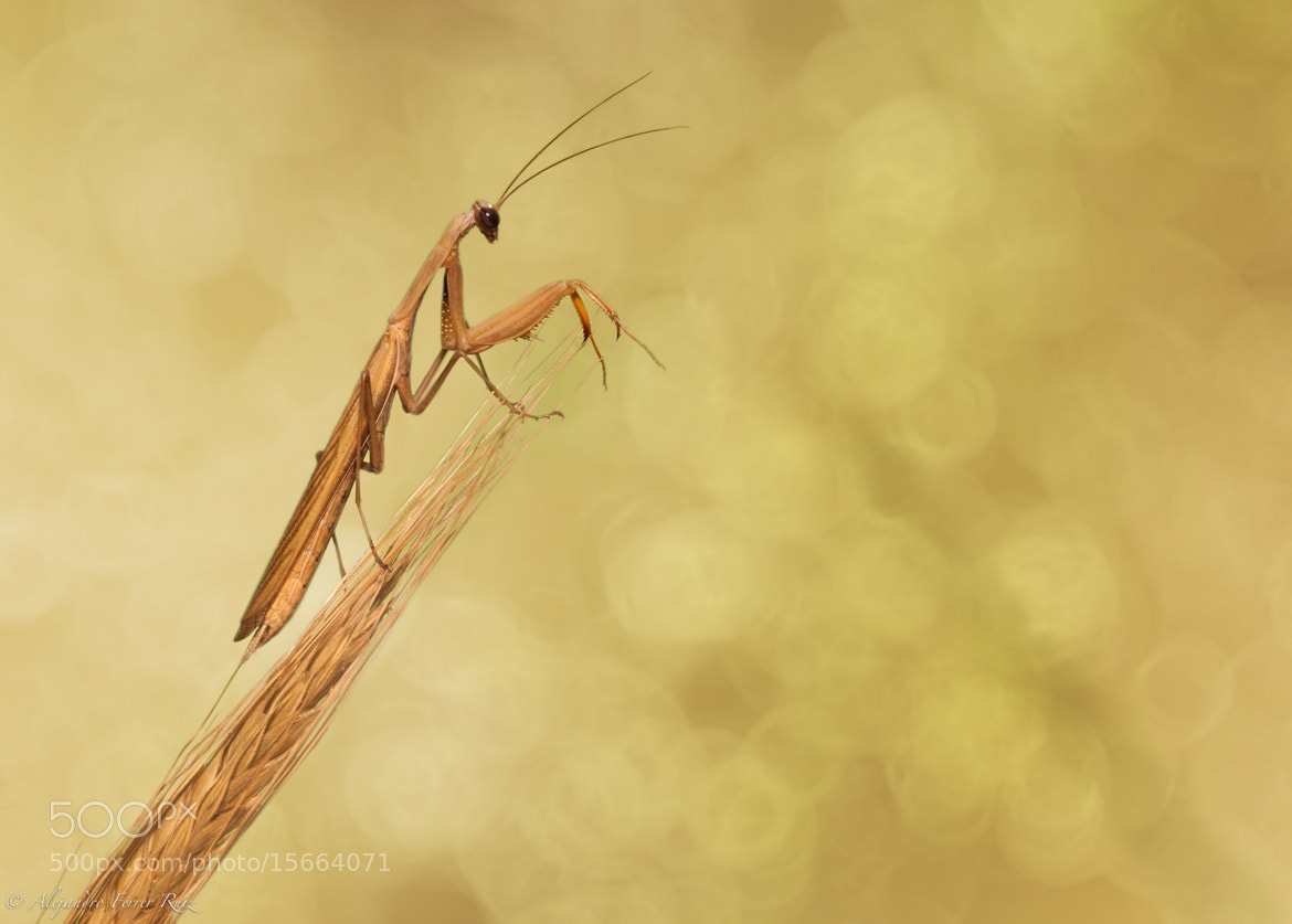 Photograph La mantis del homenaje by Alejandro  Ferrer Ruiz  on 500px