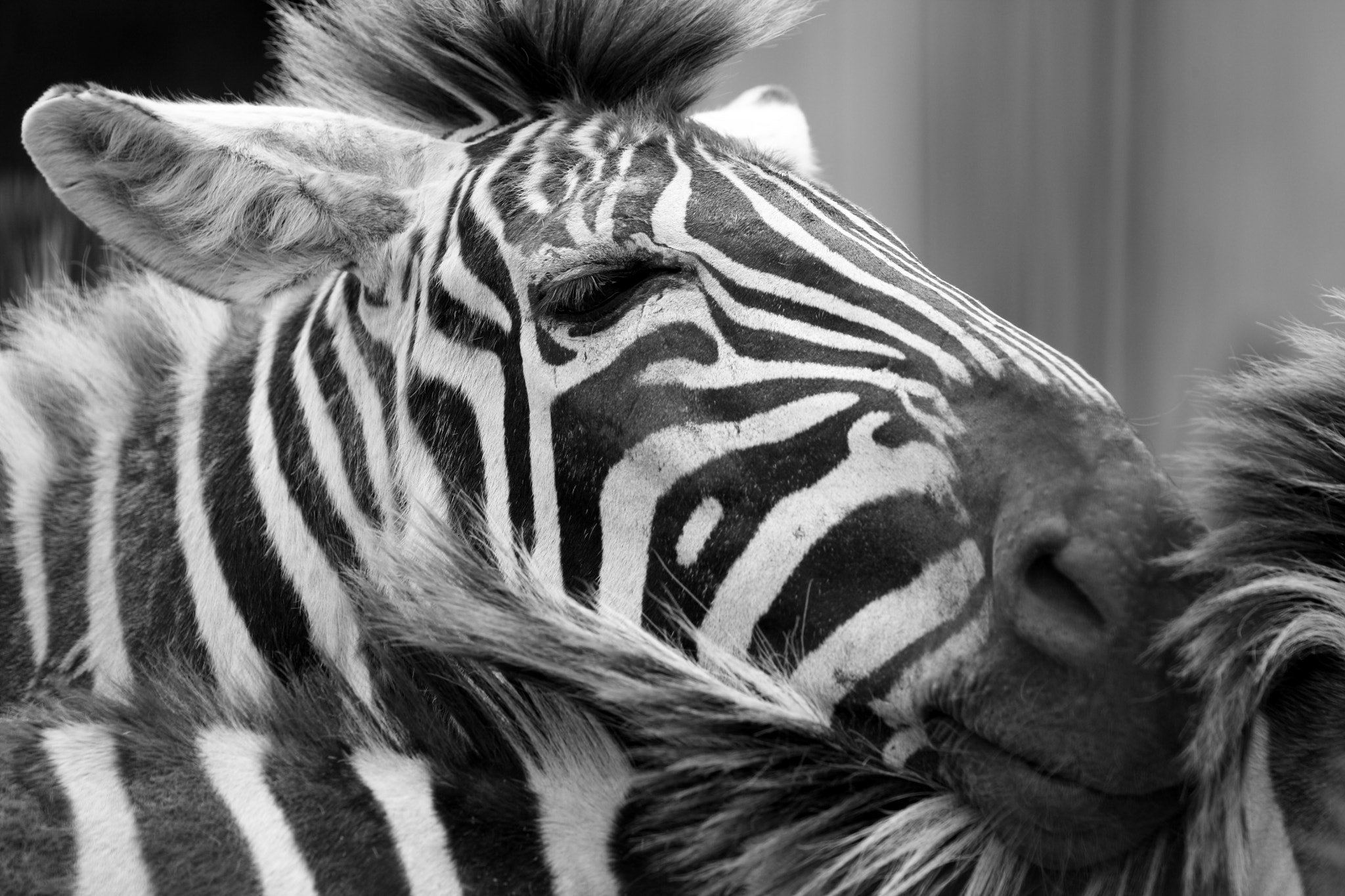 Photograph Zebra by Ken Shimo on 500px