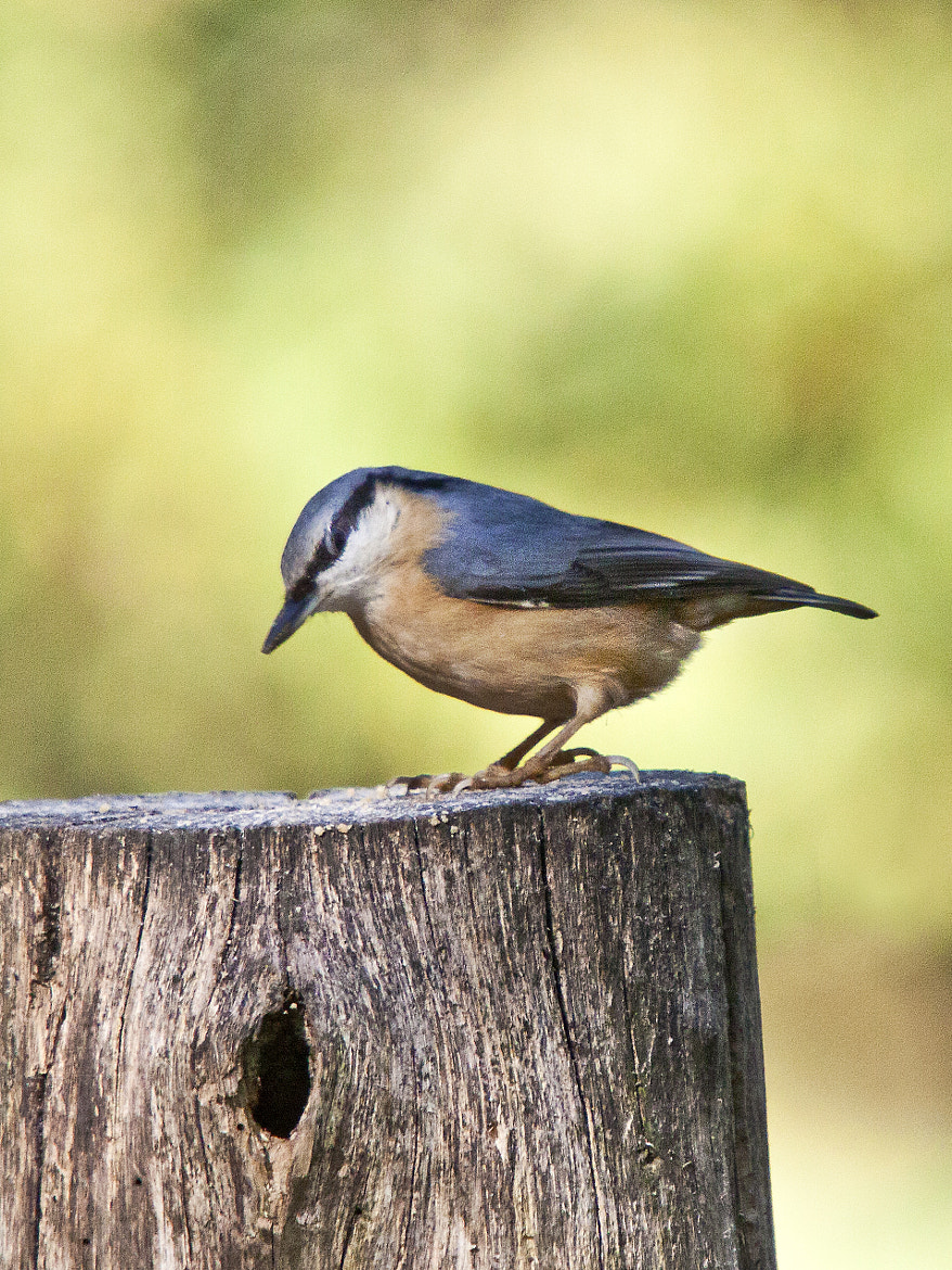 Photograph Nuthatch (Sitta europaea) by Ray Jones on 500px