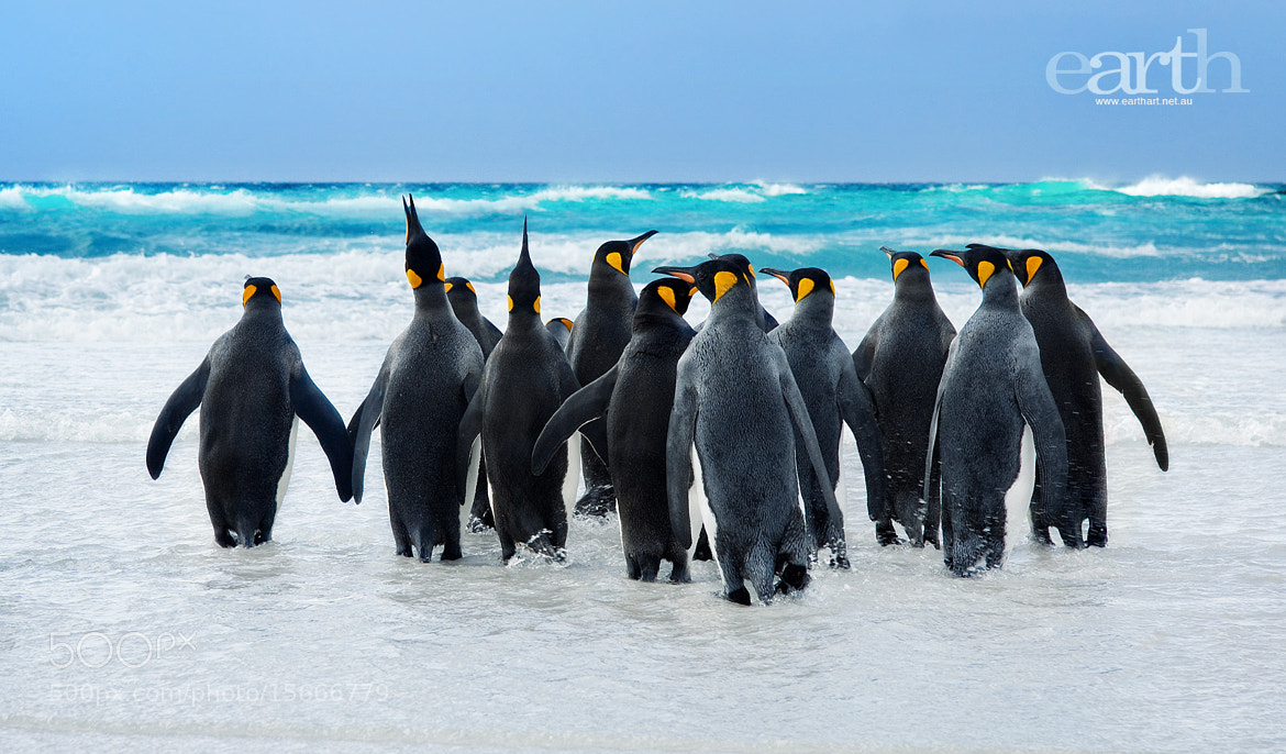 Photograph King Penguins by Ben Goode on 500px