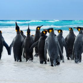 King Penguins by Ben Goode on 500px.com