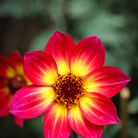 yellow red., Canon EOS 1100D, EF-S55-250mm f/4-5.6 IS STM