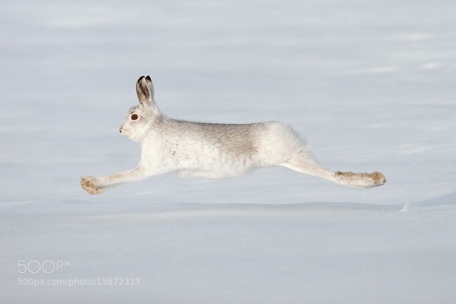 Photograph Mountain hare at full tilt! by Mark Hamblin on 500px