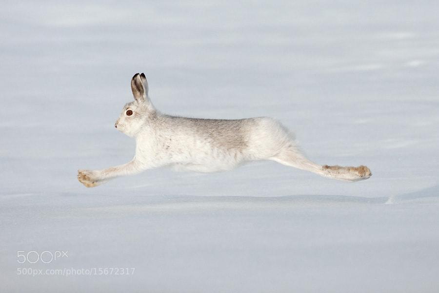 Photograph Mountain hare at full tilt! by Mark Hamblin on 500px