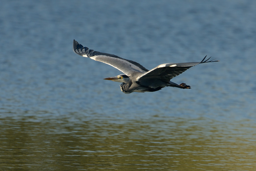 Photograph Blue Heron in flight by Erik Veldkamp on 500px