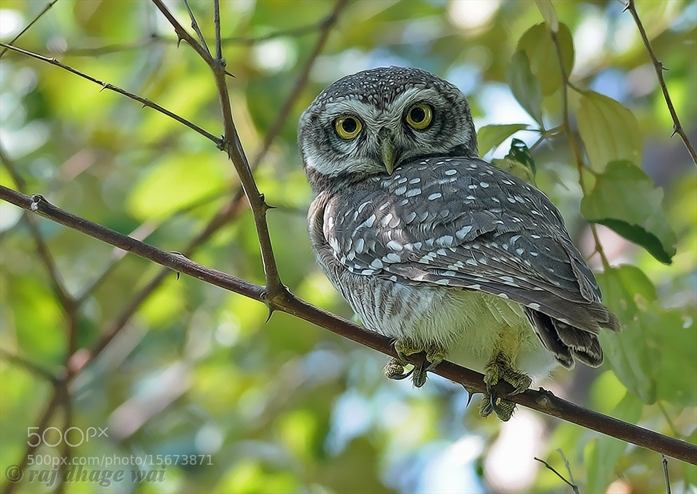Photograph Spotted owlet by raj dhage on 500px