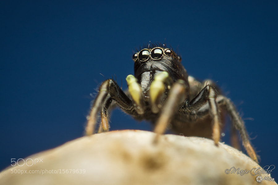 Photograph Heliophanus sp. jumping spider by Mario Čehulić on 500px