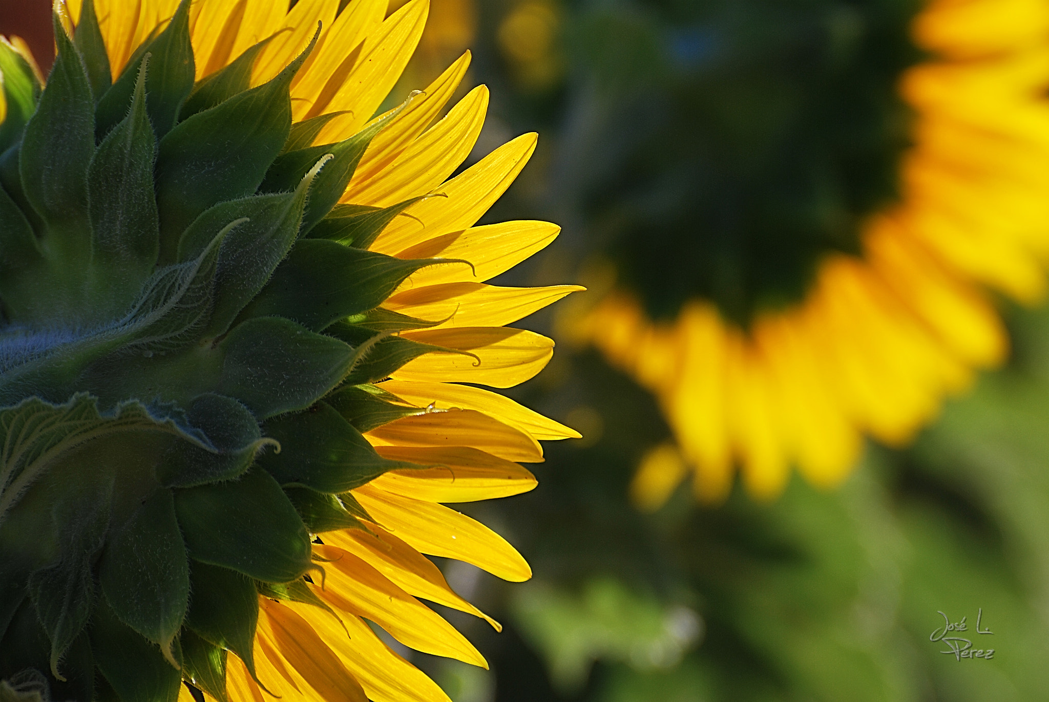 Photograph Sunflowers by Jose Luis Perez on 500px