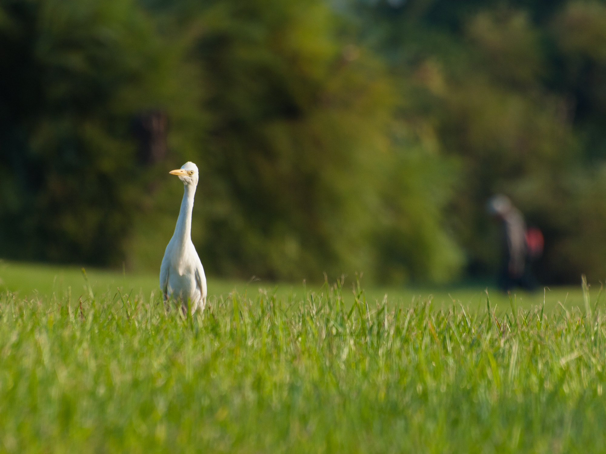 Photograph Wandering Egret by William Lo on 500px