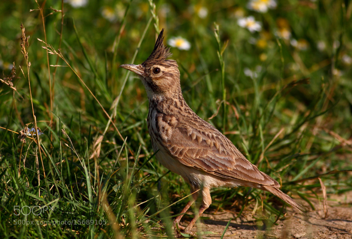 Photograph Crested Lark (Galerida cristata) by Sarb-Gligor Florin on 500px