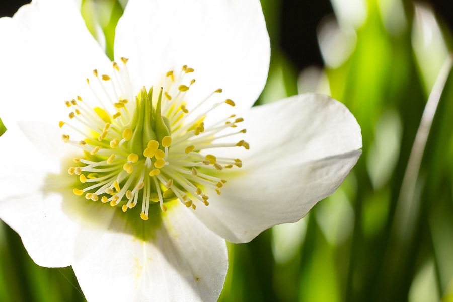 Photograph Christmas rose by Benjamin Egermann on 500px