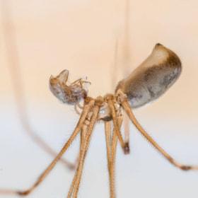 Zitterspinne Spider