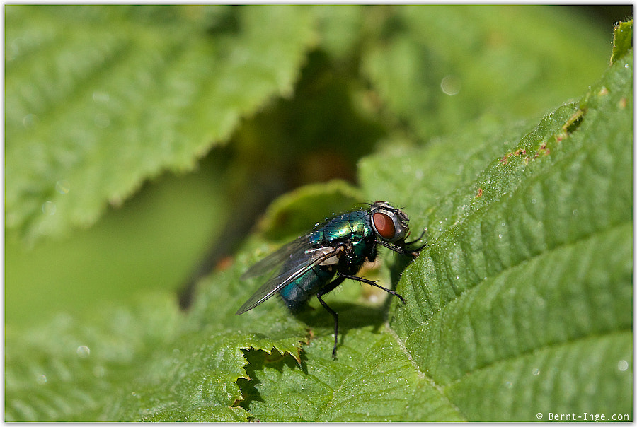 Blue bootle fly by Bernt-Inge Madsen on 500px.com