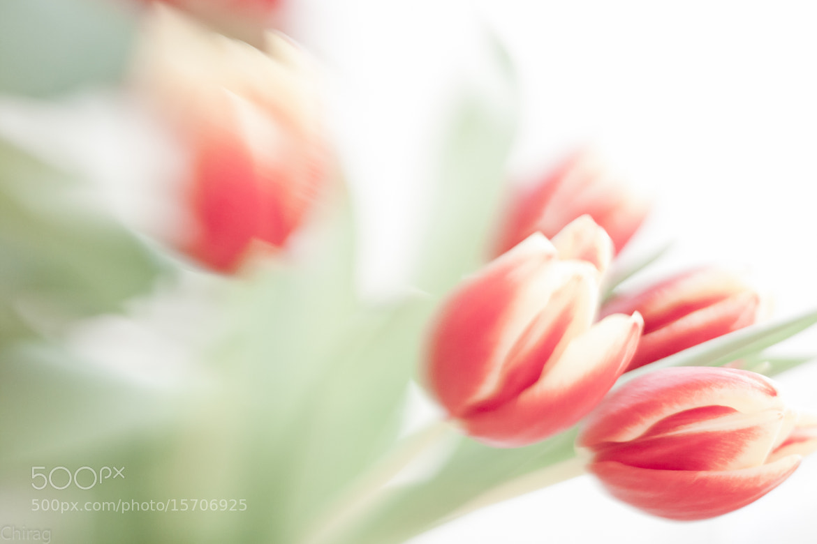 Photograph Tulips by Chirag Pradhan on 500px