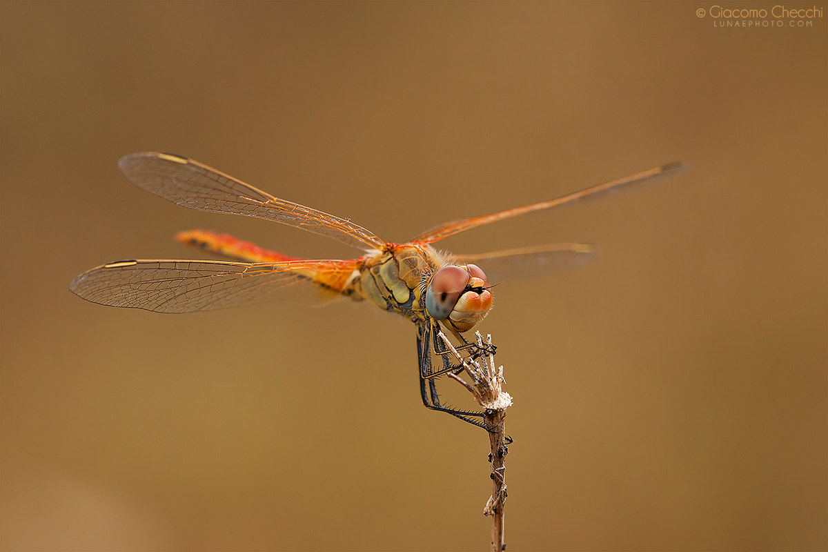 Photograph Sympetrum fonscolombii by Giacomo Checchi on 500px