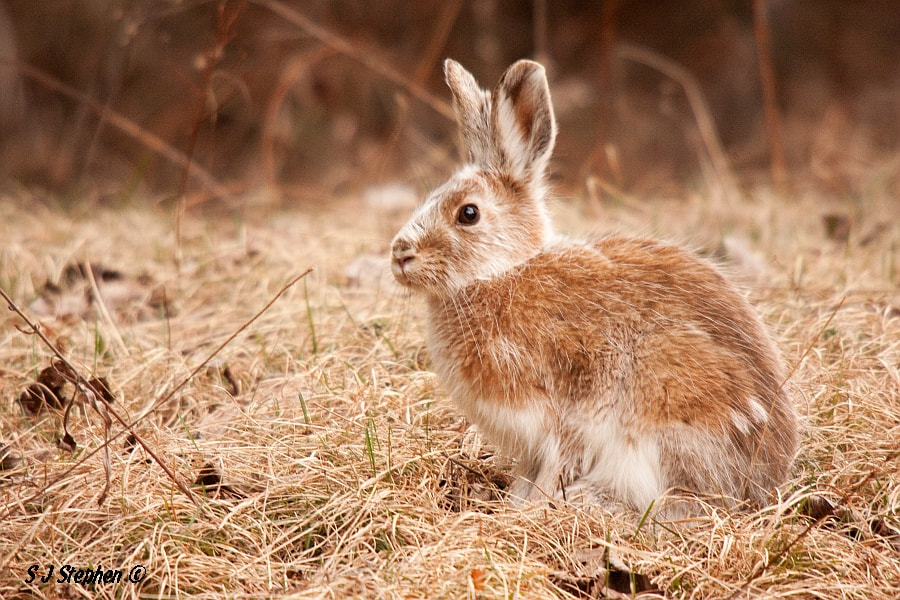 Photograph Spring Hare by Stephen Stephen on 500px