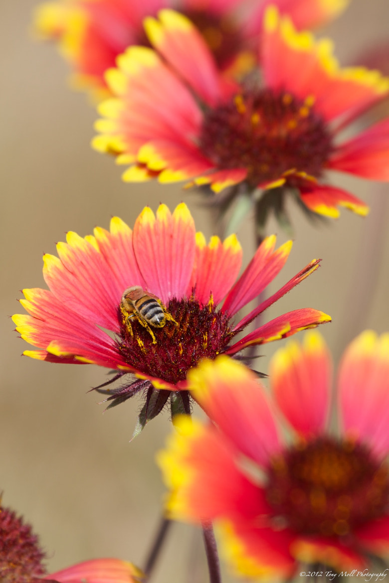 Photograph Gathering Pollen by Tony Moll on 500px
