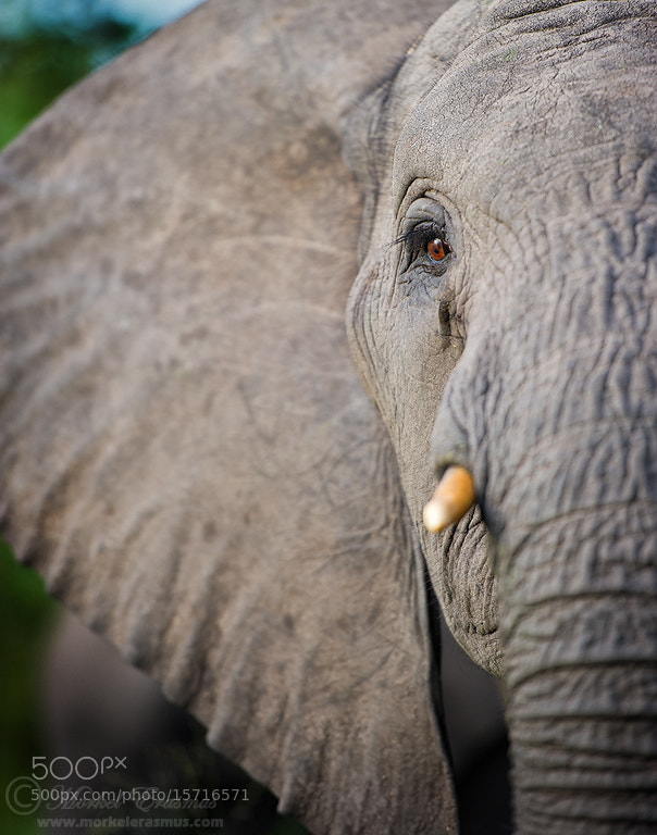 Photograph Pachyderm Profile by Morkel Erasmus on 500px