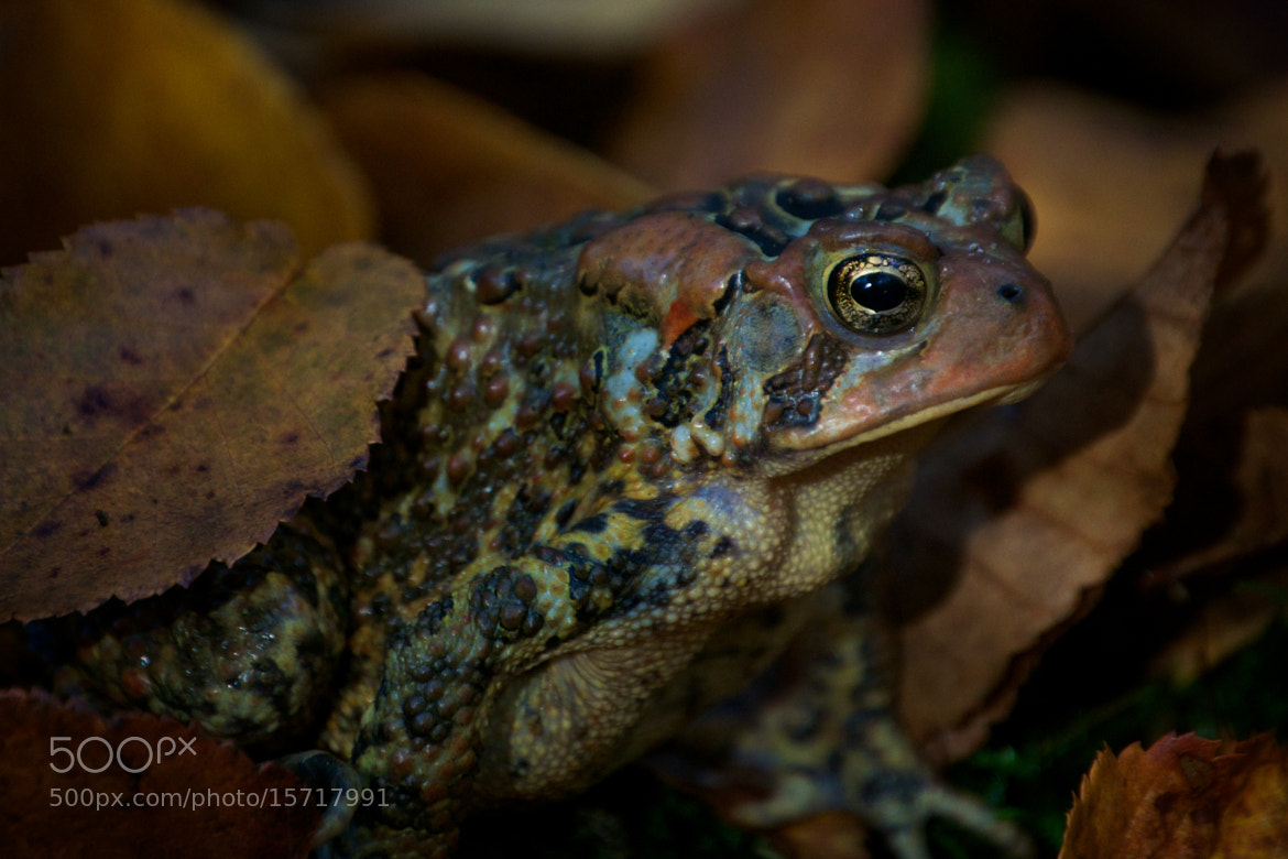 Photograph American Toad by Cory Zanker on 500px