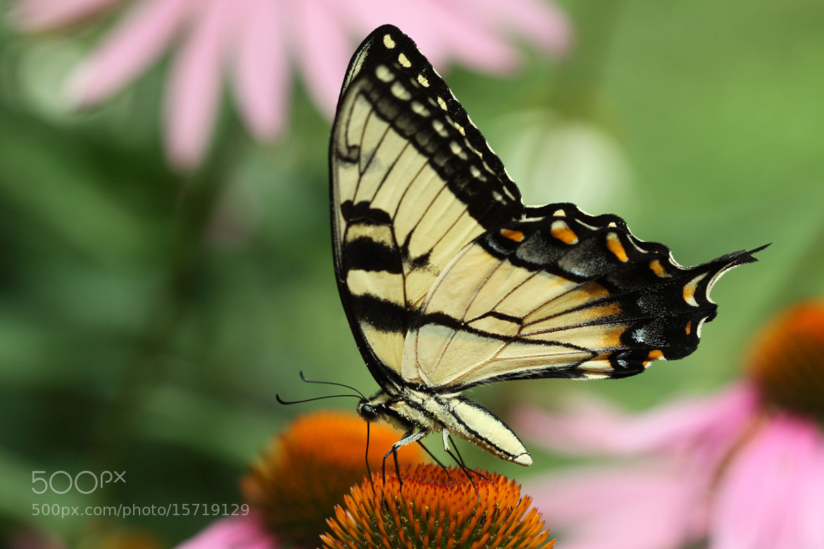 Photograph Tiger Swallowtail Is Feeding by Kenneth  Maurer on 500px