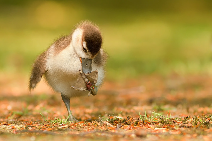 Photograph Small Chick Big Feet by Roeselien Raimond on 500px