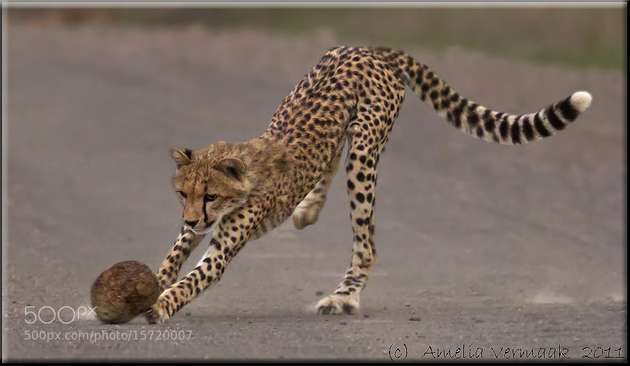 Photograph Cheetah rugby by Amelia Vermaak on 500px