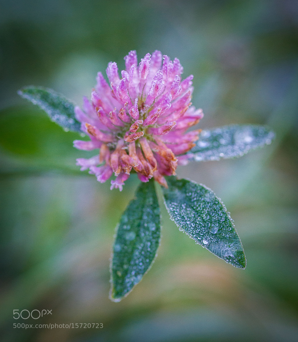 Photograph Frozen Clover by Mihail Bidnichenko on 500px